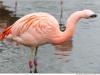 Chile-Flamingo